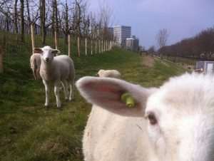 Lee Towers met schapen